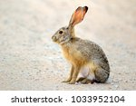 Stock photo an alert scrub hare lepus saxatilis sitting upright south africa 1033952104