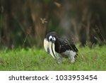 oriental pied hornbill ... | Shutterstock . vector #1033953454
