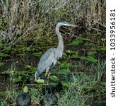 a great blue heron stands atop... | Shutterstock . vector #1033956181