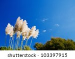 Pampas Grass On The Blue Sky