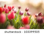 Beautiful Closed Up Tulip And...