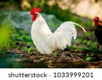 beautiful  rooster. white...