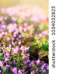 Small photo of Thyme blooms in pink at sunset on the hillside with shallow depth of field and blurred background. A low-growing aromatic plant of the mint family.