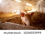 a small piglet in the farm.... | Shutterstock . vector #1034053999