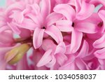 Hyacinth Pink Surprise Dutch...