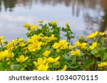 Spring background with yellow  Blooming Caltha palustris, known as marsh-marigold and kingcup.  Flowering gold colour plants  in Early Spring.