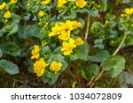 yellow   blooming caltha... | Shutterstock . vector #1034072809