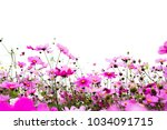 cosmos flower and sunset with...   Shutterstock . vector #1034091715