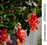 Small photo of Large showy red, pink and orange double evergreen Hawaiian hibiscus in autumn bloom against an asbestos fence adds a tropical splendour to the garden landscape.