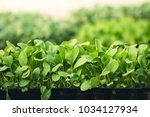 vegetable garden vegetable in... | Shutterstock . vector #1034127934