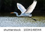Great Egret In Flight Over Water