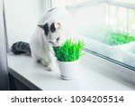 White Cat Eating Green Grass In ...