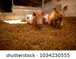 a small piglet in the farm.... | Shutterstock . vector #1034230555