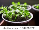 young fresh seedling stands in... | Shutterstock . vector #1034233741
