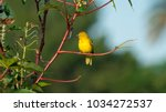 eastern golden weaver bird... | Shutterstock . vector #1034272537