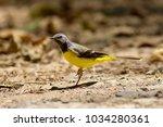 grey wagtail  motacilla cinerea ... | Shutterstock . vector #1034280361