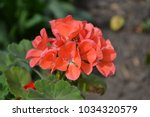 Geranium Coral Red. Pelargoniu...