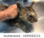 the cat with clinical sign of... | Shutterstock . vector #1034332111