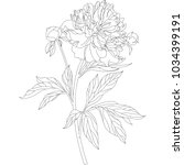 peony flowers on a white... | Shutterstock .eps vector #1034399191