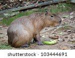 capybara in chiang mai zoo ... | Shutterstock . vector #103444691