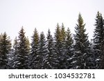 Tops Of Snow Covered Spruce...
