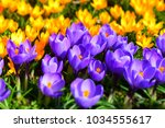 beautiful purple and wellow... | Shutterstock . vector #1034555617