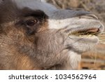 the muzzle of a bactrian camel  ... | Shutterstock . vector #1034562964