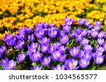 Purple and wellow crocuses...
