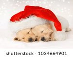 Stock photo golden retriever puppies sleeping under a christmas hat 1034664901