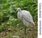 the great egret  ardea alba    Shutterstock . vector #1034674321