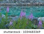 Small photo of Flowering Chamerion on background of turquoise water, Norway