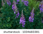 Small photo of Flowering Chamerion in the meadow, Norway