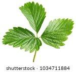 fresh green strawberry leaf... | Shutterstock . vector #1034711884