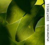 green leaves macro. backlit... | Shutterstock . vector #1034738011