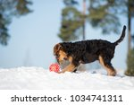 Airedale Terrier Puppy Playing...
