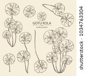collection of gotu kola  branch ... | Shutterstock .eps vector #1034763304