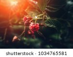 wild raspberry on branch in... | Shutterstock . vector #1034765581