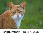 ginger and white cat  with... | Shutterstock . vector #1034779039