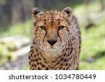 Cheetah Portrait With A Head O...