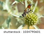 Small photo of Macro Red-banded sand wasp (Ammophila sabulosa) seen from profile on thistle Eryngium genus