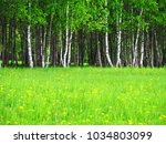 birch grove in early spring on... | Shutterstock . vector #1034803099