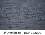 black browed albatross  drake... | Shutterstock . vector #1034822209