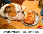Small photo of Leland, a British Bulldog, tries his special birthday cake, at his 1 year old birthday party.