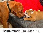 georgie  a british bulldog... | Shutterstock . vector #1034856211