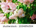 Pink Lilac Flowers In The...