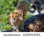africa cheetah on alert in... | Shutterstock . vector #1034914591