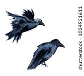 two black crows. isolated on... | Shutterstock . vector #1034921611