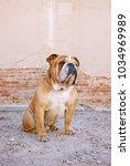 bulldog outside enjoying a warm ...   Shutterstock . vector #1034969989