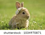 Stock photo bunny in grass daisy coronet spring and easter 1034970871