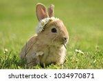 bunny in grass  daisy coronet ... | Shutterstock . vector #1034970871